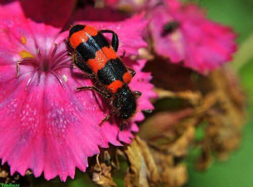 Пестряк пчелиный / Trichodes apiarius