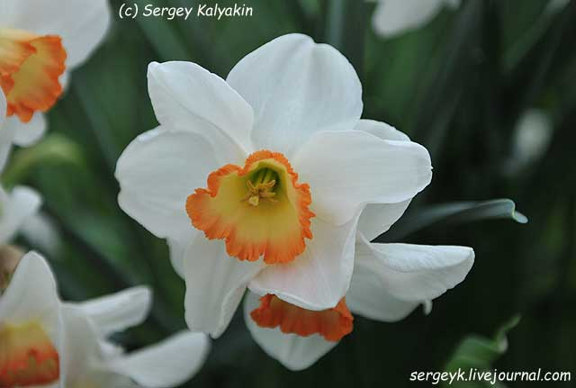 Narcissus Garden Club of America.JPG