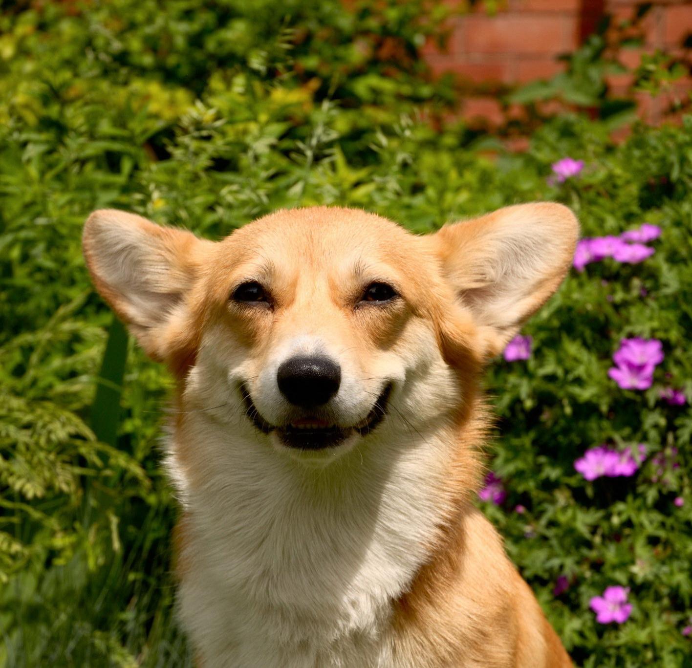Усміхнений пес