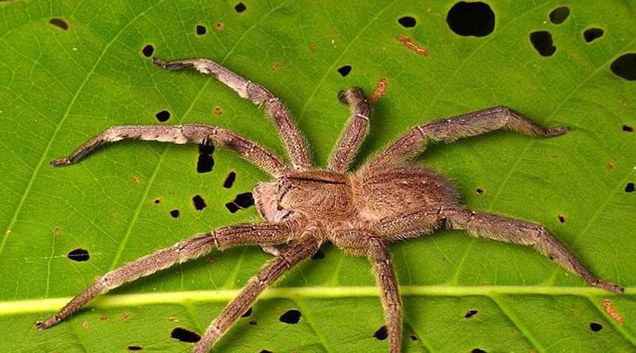 Длинна тела этого паука составляет внушительные 17 сантиметров. Свою жертву хищник предпочитает высл