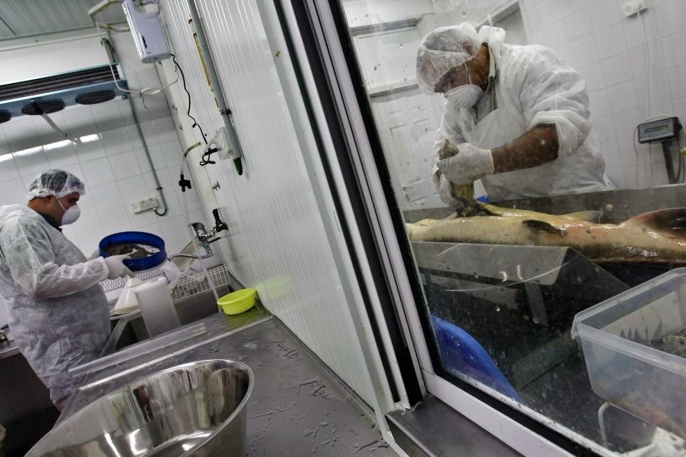 12. На фото: сотрудник кибуца (справа) вынимает икру, а второй готовит ее для упаковки.