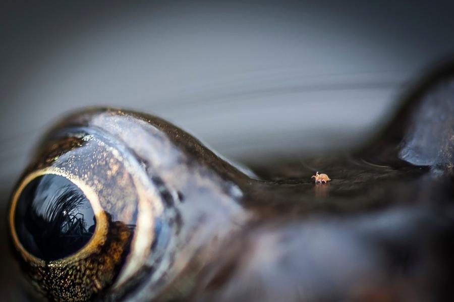 7. Категория «Близость с природой». «Клещ на лягушке». Бристоль, Англия. Фотограф: Chris Speller. 8.