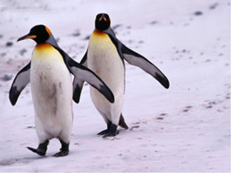 Ученые: Установлена причина, покоторой пингвины немогут летать