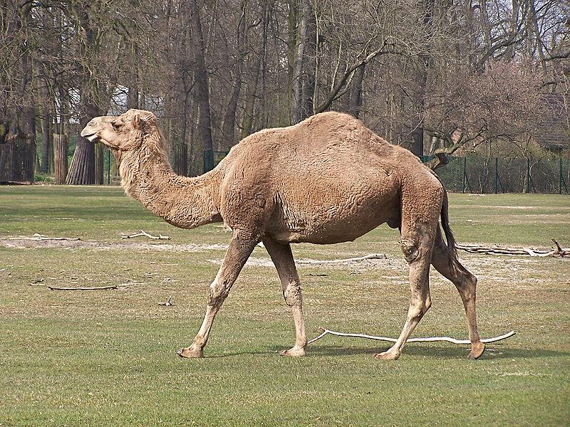 Верблюды могут посодействовать ученым всоздании лекарства отрака