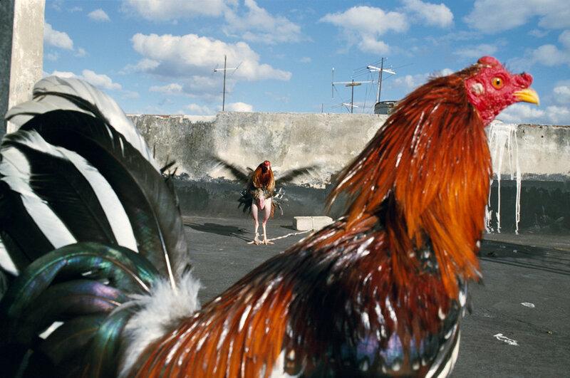 Rebecca Norris Webb, Roosters  (Havana, Cuba, 2008)