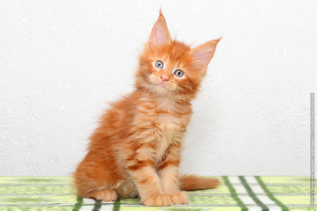 красный котенок Мейн-кун фотография