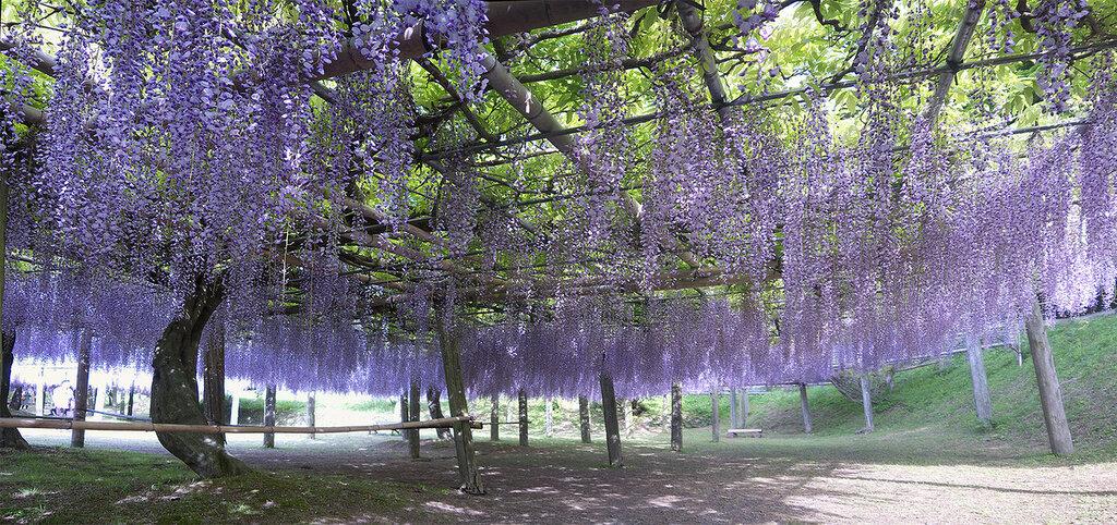 kawachi-fuji-garden-14.jpg