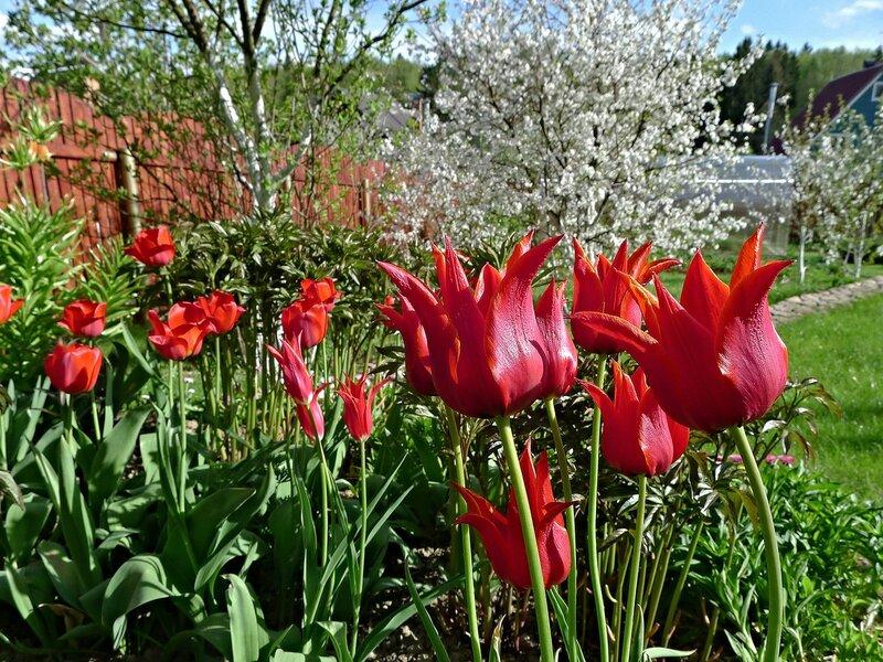Весна - цветут красные тюльпаны!