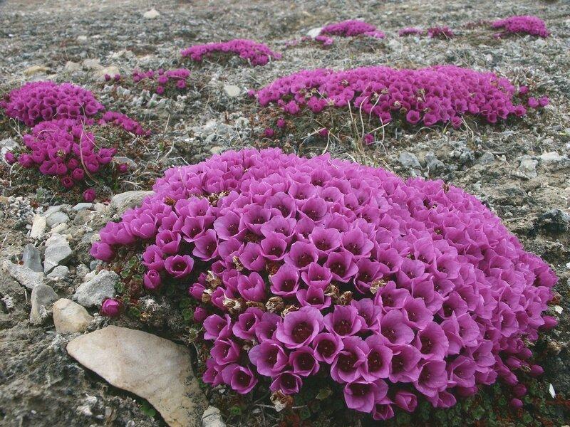 Цветы Арктики