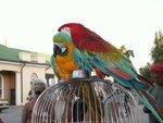 Попугаи ара (мальчик - красный, девочка - жевто-блакитная)