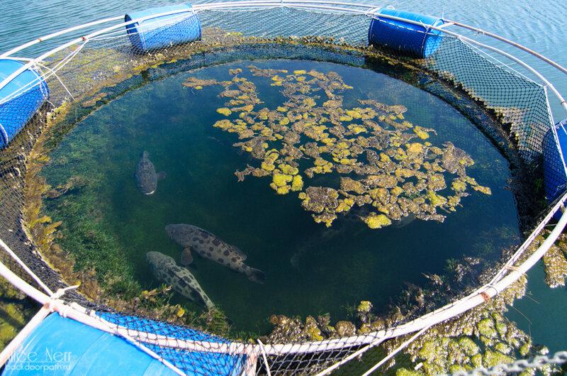 рыба в садке в пруду