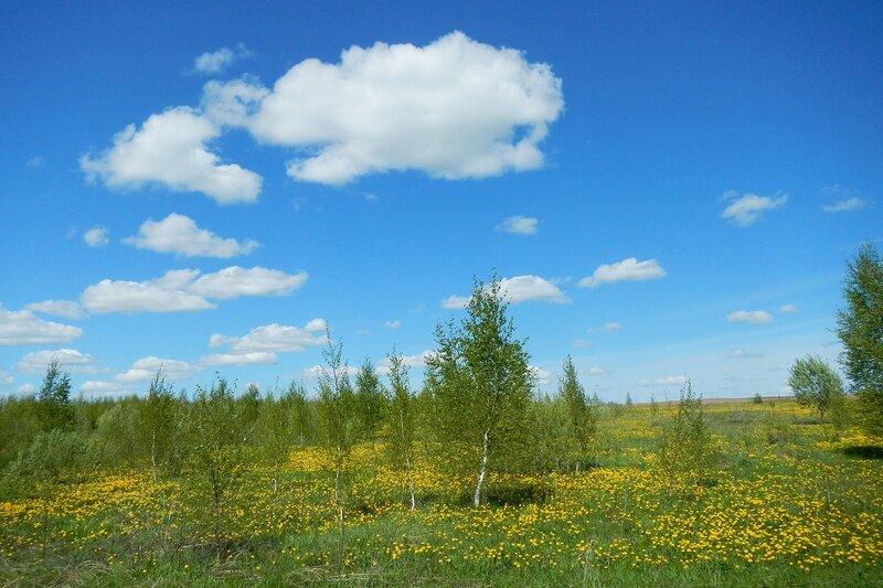 Яранские зарисовки: зарастающее маленькими берёзками жёлтое цветущее поле и облака