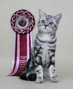 Best Kitten - 138 Great Gatsby Lacy Cat (Male) BRI ns 22 Ткачук Н. А. Камея, Иркутск