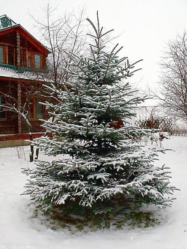 Зима,с.Остров,подворье,райский садик,ёлочка