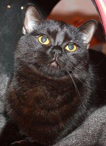 черная шотландская страйт кошка