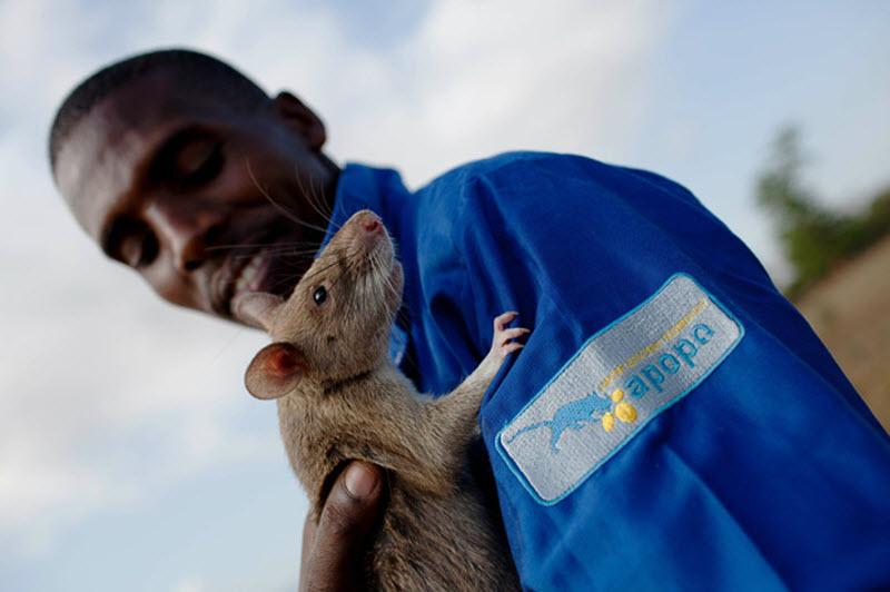 крысы ищейки фото предлагает купить