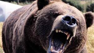 Медведь напал на человека в окрестностях магаданского посёлка Оротукан