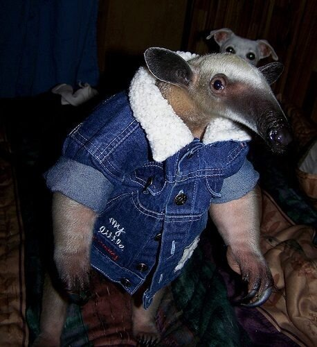 Pua, the pet anteater