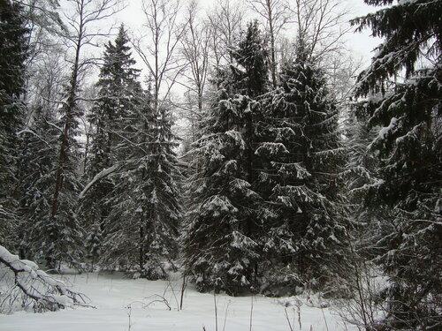 Зимний лес. Ели. Подмосковье