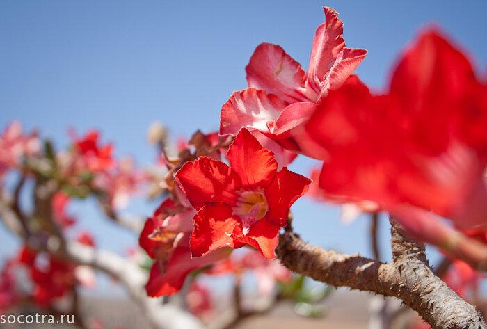Цветки бутылочного дерева