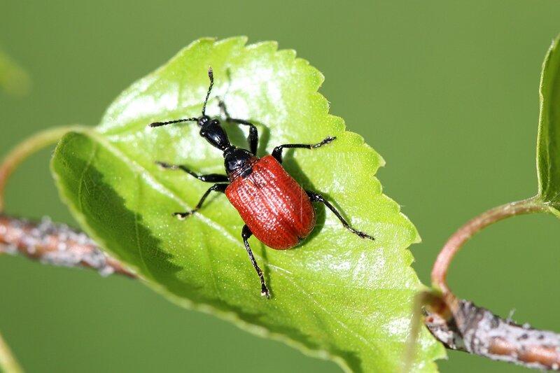 Ореховый трубковерт (Apoderus coryli) - жук с длинной чёрной шеей и красными надкрыльями