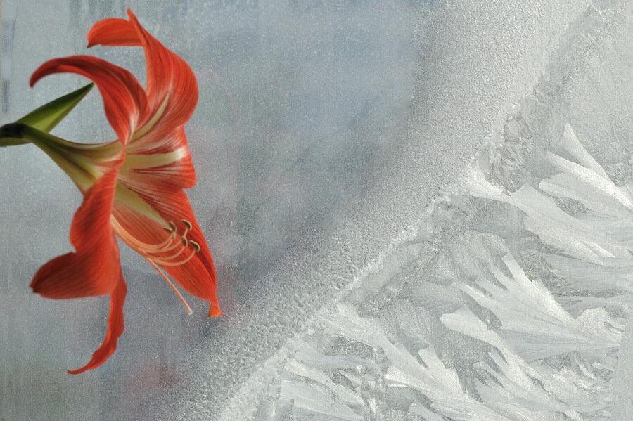 Лилия на фоне морозного окна