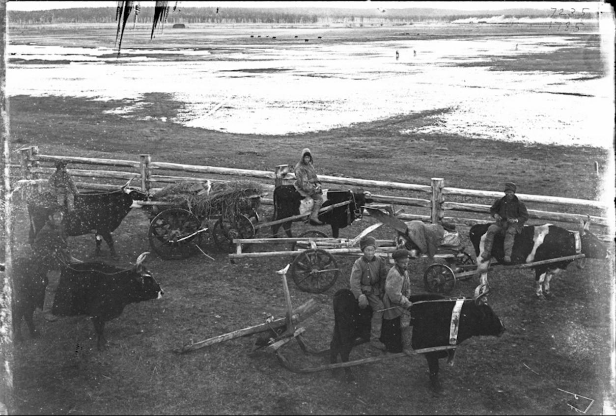Якуты, вернувшиеся с пашни с волами, 1902
