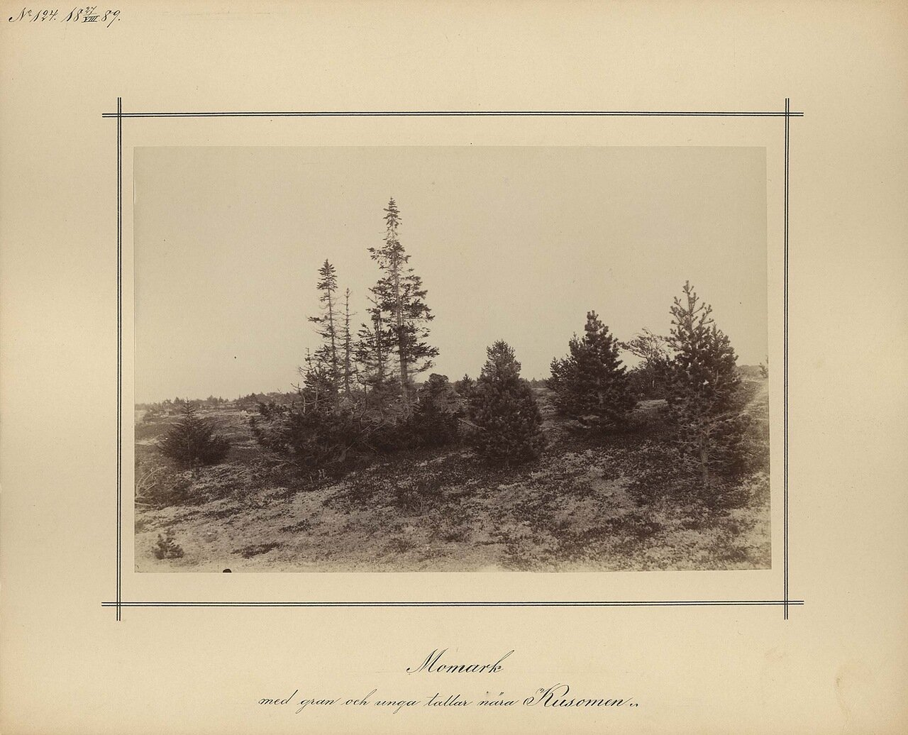 27.8.1889. Молодые сосны вблизи от Kusomenia