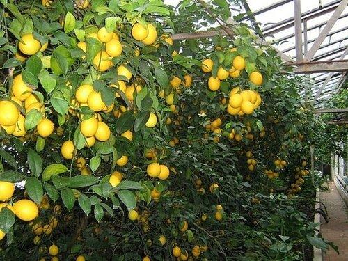 Выращиваниё лимонов 60