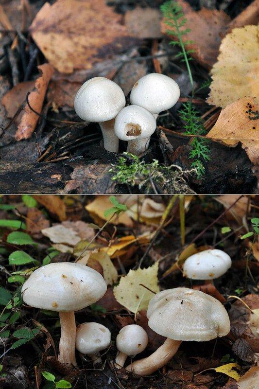 Гигрофор берёзовый (Hygrophorus hedrychii). Автор фото: Владимир Брюхов