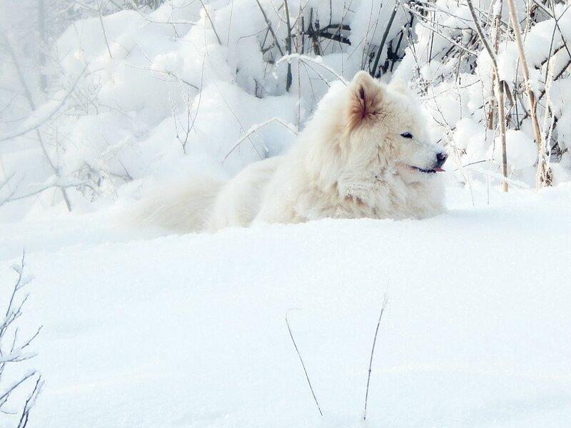 Снежная собака