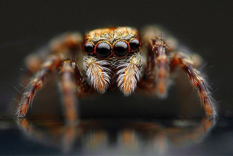 Прыгающие пауки: 1