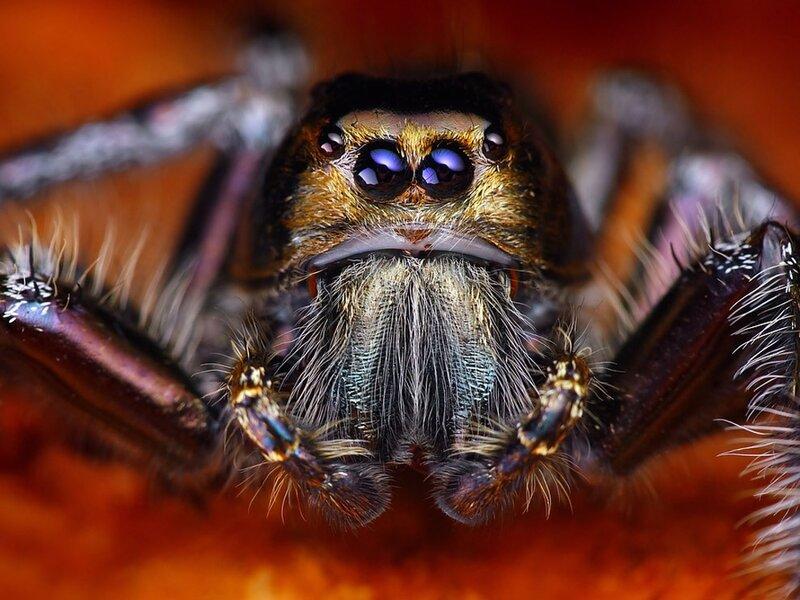 Прыгающие пауки: 7