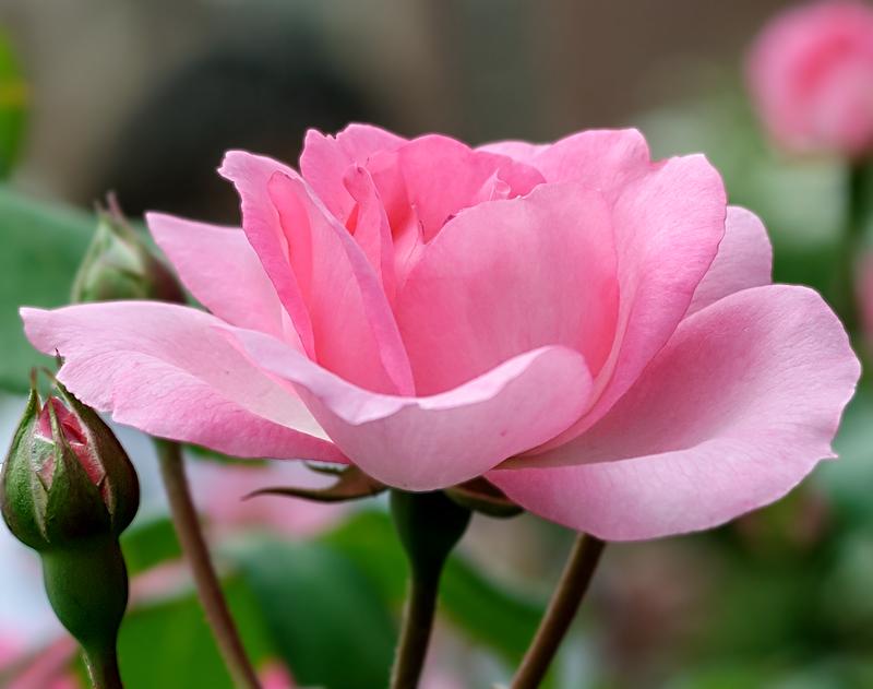 Раскрыла роза лепестки –  Такое совершенство!