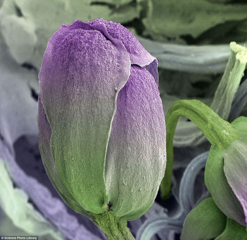 2. Брокколи, при таком увеличении выглядит как бутон тюльпана