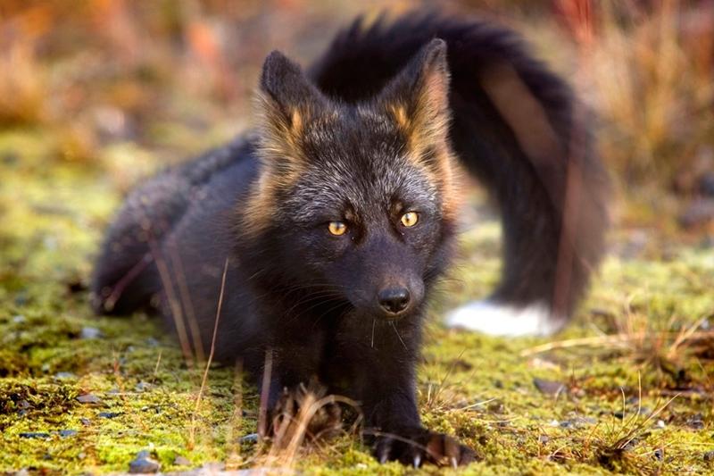 Фотосессия любопытной чёрно-бурой лисицы