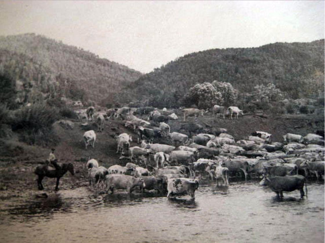 Деревенское стадо на водопое. Деревня Медведево