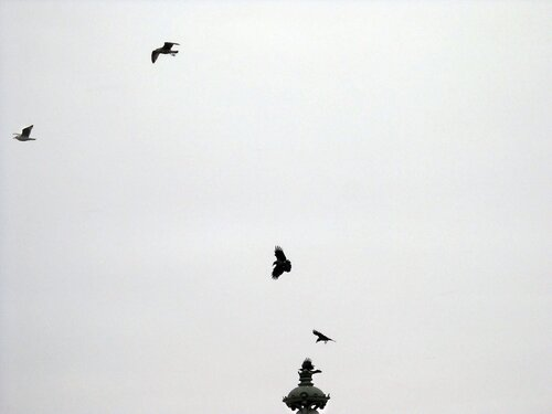 чайки и вороны