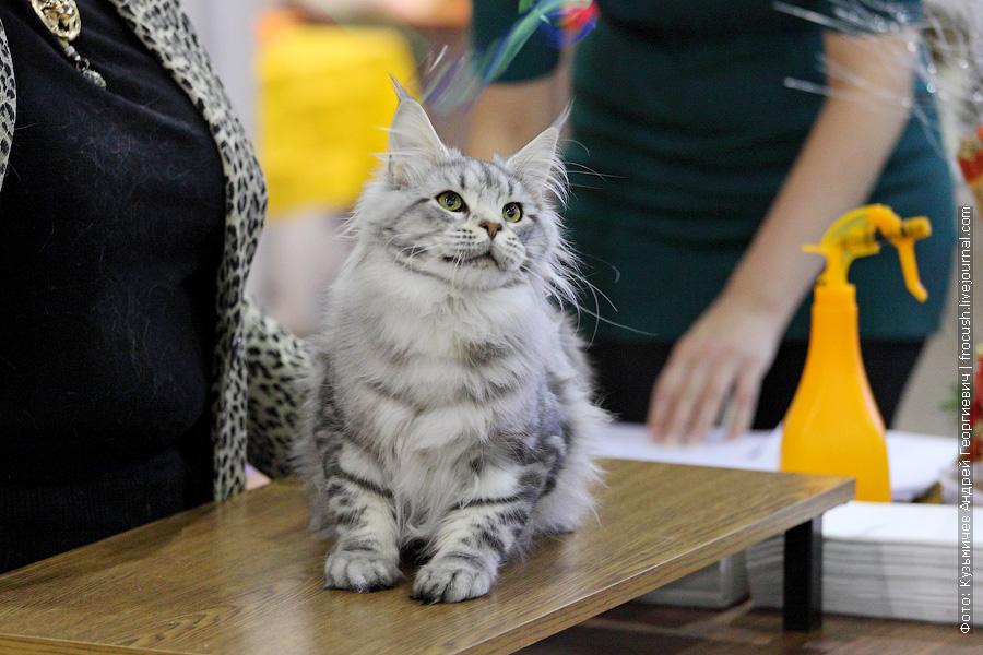 Международная выставка кошек «Содружество 2013» — гран-при Royal Canin 7-8 декабря 2013 года