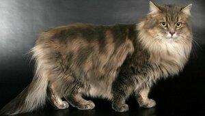 Сибирские кошки имеют вытянутое массивное тело с...