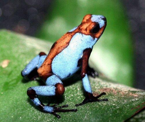 Лягушка-древолаз, красивая и ядовитая!