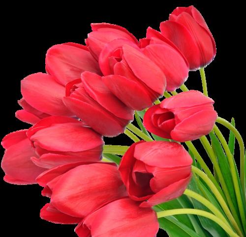 Tulips,тюльпаны