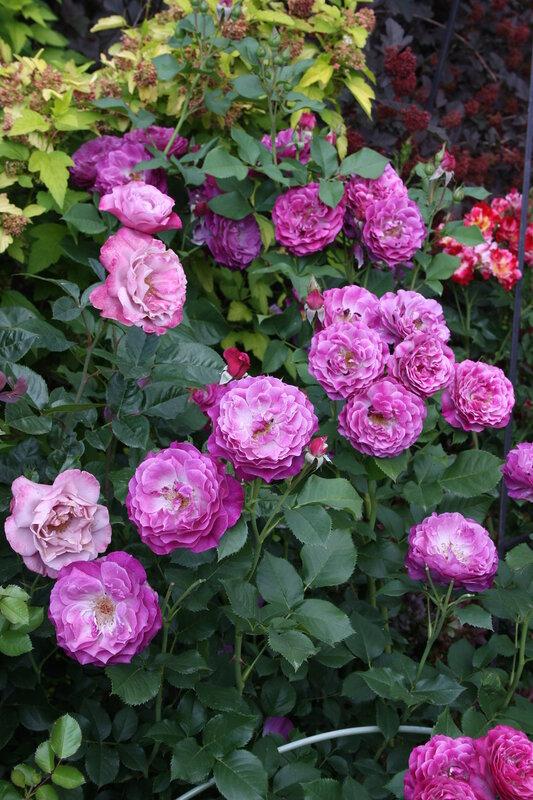 Розовые кусты
