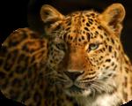 Jan Series Tigers & Cats 4 - 3.png