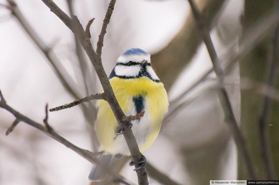 Синица лазоревка на  дереве