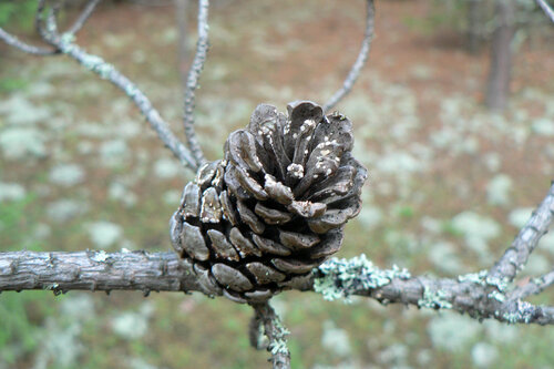 шишки серебряного леса