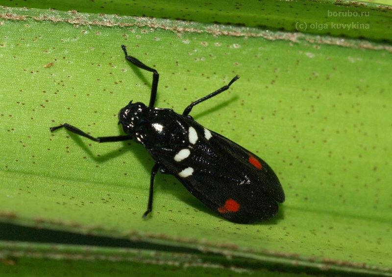 Цикадка Callitettix versicolor