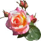 rosenrosa016.png