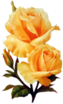 rosa 03.png