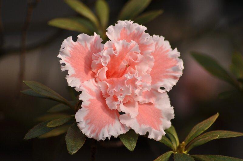 Альпийская роза 11 букв